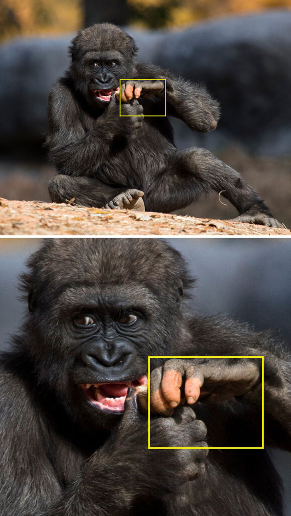 The gorilla was born with no pigment in her fingers, so she looks like she has human fingers.